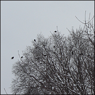 Crows in a neighboring tree
